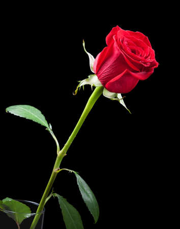 Red rose against the black background.