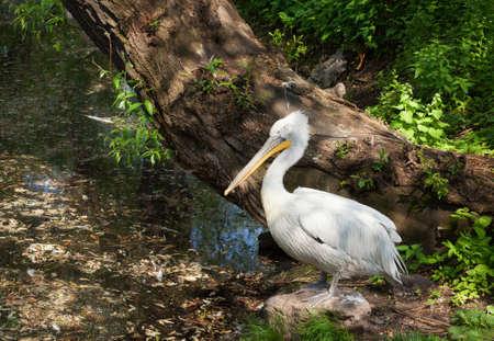 White pelican in reservoir.
