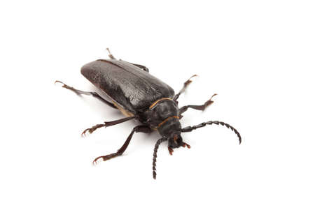 Big black beetle on a white background.