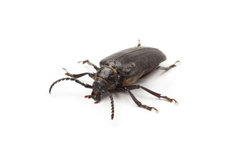 Big black beetle on a white background.