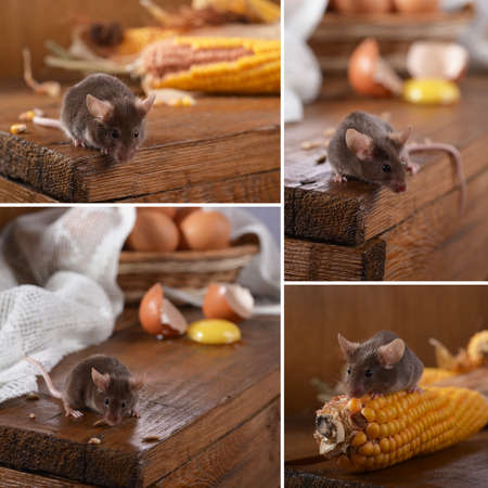 A collage of four photos with a mouse. Stock Photo