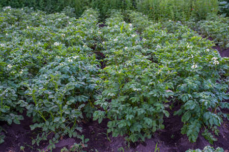 Potato bush blooming with white flowers on the garden bed close-up photo