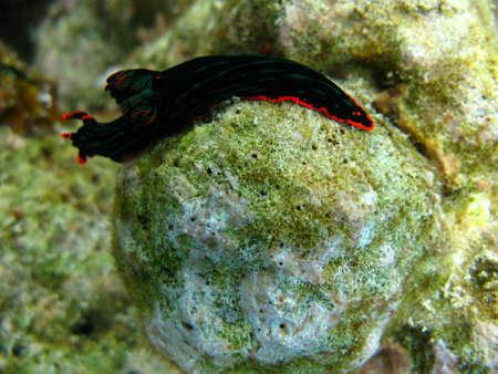 sea slug: Green Nudibranch Sea Slug  Stock Photo