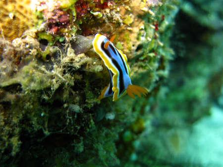 babosa: Slug de NudibranchiaMar Amarillo-Blue-Black