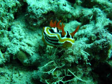 sea slug: Yellow-Black Nudibranch Sea Slug Stock Photo