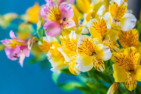 Alstroemelias flowers on blue