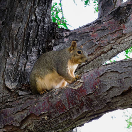 Pine Squirrel hanging out on a tree branch photo