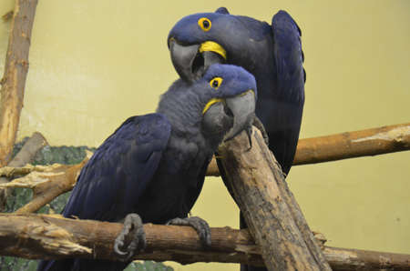 Playful Blue Parrots sitting on a branch Stok Fotoğraf