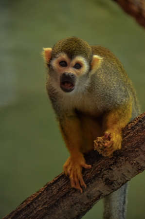 Squirrel Monkey on a Tree Branch with Food in hand photo