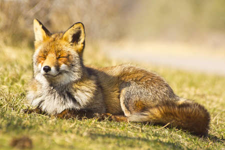 red fox: This is the LIfe Stock Photo