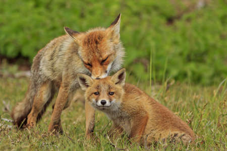 fox: Motherfox cleaning her cub Stock Photo