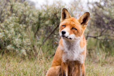 red fox: Red Fox in a Nature Background