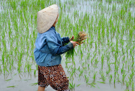 Hoian, Vietnam, 2012: Rice Paddy Worker