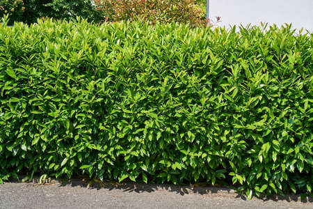cherry laurel hedgerow in the sunshine