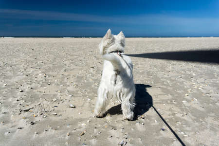 tugging: West Highland White Terrier, little white dog on the beach, tugging on the dog leash