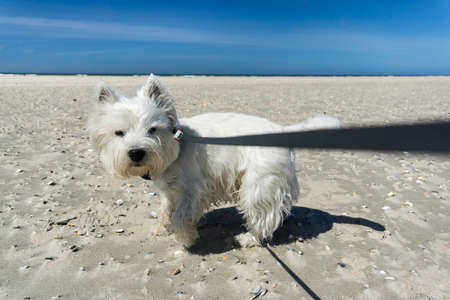 cute westie: West Highland White Terrier, little white dog on the beach, tugging on the dog leash