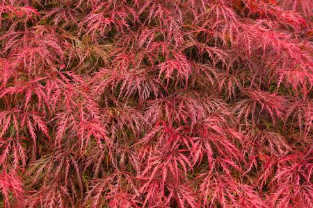 acer palmatum: Close up of a beautiful Japanese maple (Acer palmatum)