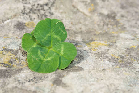 fourleaved: Four-leaved clover with background of stone Stock Photo