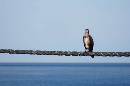 Cormorant sitting on a rope with sky and ocean background Stock Photo