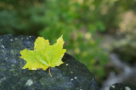 the case selected: One green maple leaves with selected focus on a wet black stone in deep forest
