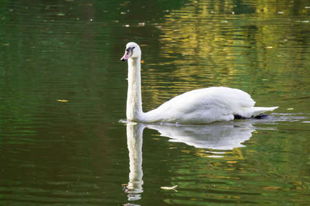 A beautiful swan floating on a pond with reflections Stock Photo