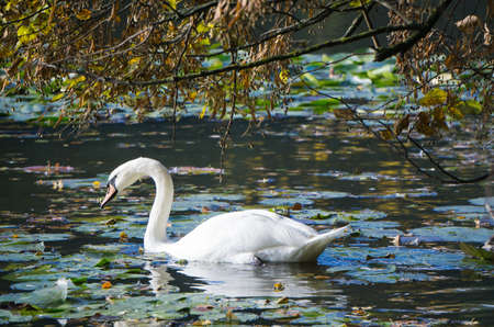 A swan floating on a pond with waterlilies