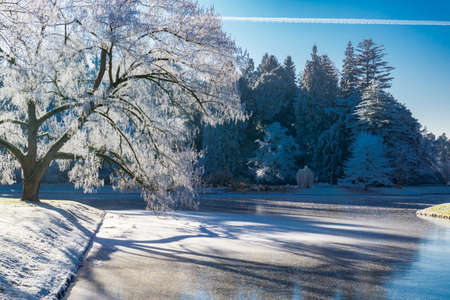 Winter landscape in the park, the sun shining through the branches of a tree, Which stands on a half-frozen lake, in the background fir trees, blue sky and sunshine Stock Photo