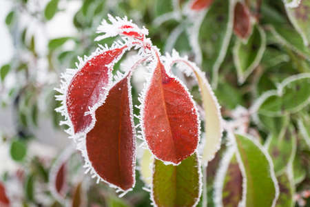Wintertime, the first frost of the year, red leaves of a photinia with ice crystals at the edges Stock Photo