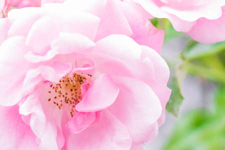 Wonderful pink rose blossom in close-up