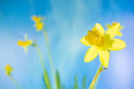 Daffodils with blue sky background