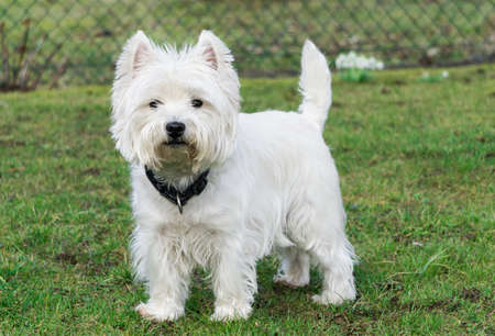 West Highland White Terrier in the garden Banco de Imagens