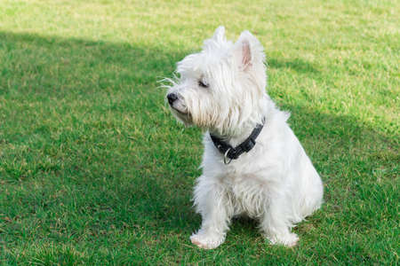 West Highland White Terrier in the garden Stock Photo