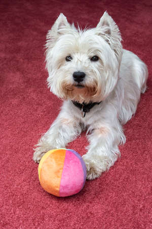 West Highland Terrier with ball