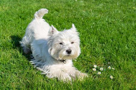 West Highland White Terrier im Garten