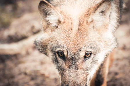 a head of a wolf in closeup