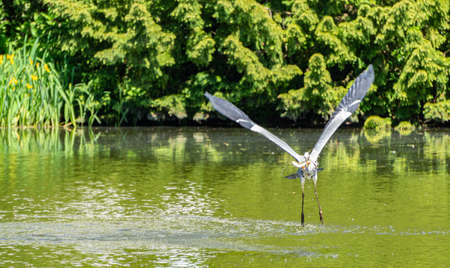 Heron with a freshly caught fish
