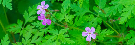 Delicate purple flowers with green leaves, panorama