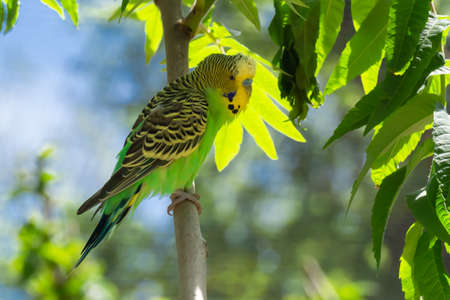 Green budgerigar sitting on a branch and looking to the camera