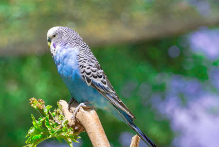 Blue budgerigar sitting on a branch and looking to the camera