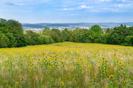 Field with many sunflowers, view of Kassel, Germany