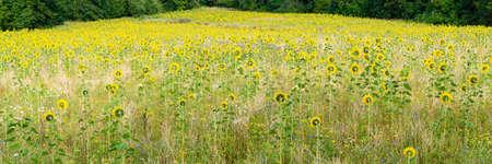 Field with many sunflowers Zdjęcie Seryjne