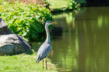 Heron at a lake Zdjęcie Seryjne