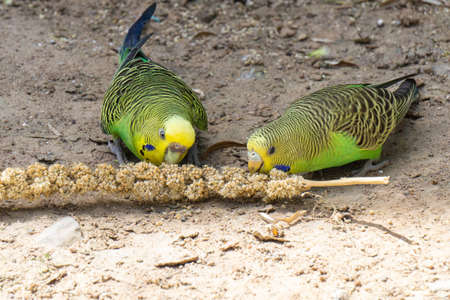 two green budgerigars feeding on a millet spike