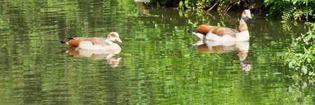 Two ducks on a pond, panorama Zdjęcie Seryjne