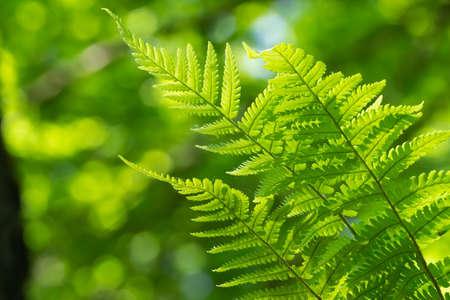 Green fern in the sunlight