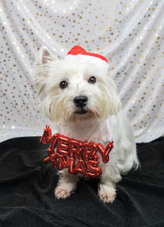 Little white dog, West Highland White Terrier, with a Santa hat and the words Merry Xmas around his neck