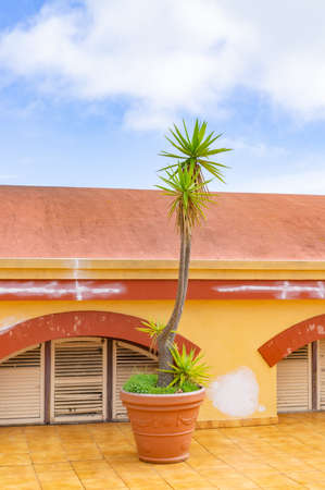 Palm tree in a pot on a Canarian island 写真素材