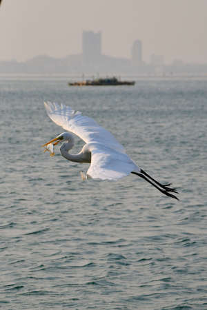Seabird in flight carrying a fish in it's beak, in a cityscape harbour setting Stock Photo