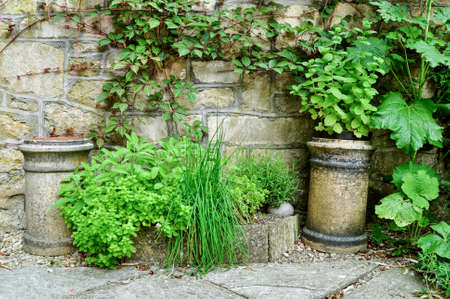 An arrangement of a variety of stone pots and planters with herbs and trailling ivy. In a walled cottage garden setting. Standard-Bild