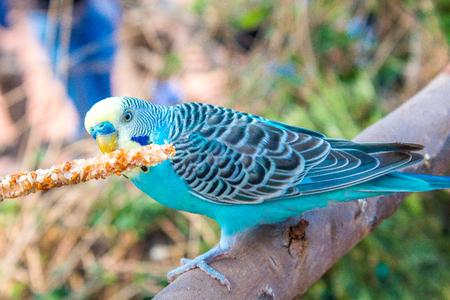 blue lorito eating